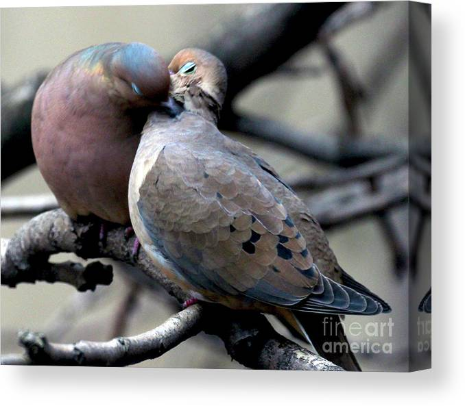 Female Mourning Dove Canvas Print featuring the photograph Cooing Mourning Doves 2 by Patricia Youngquist