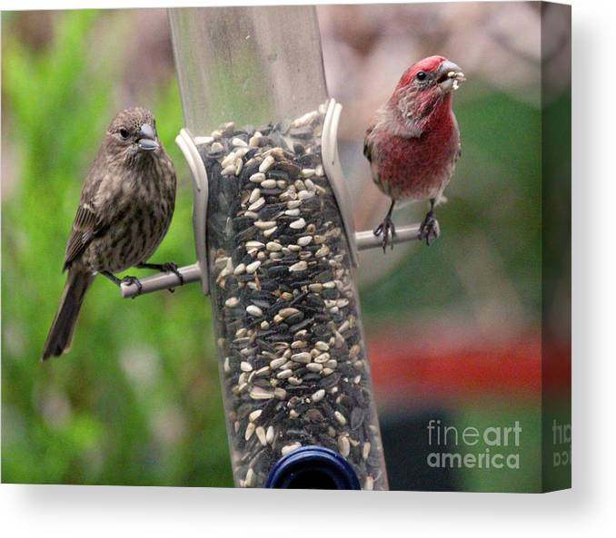 Female House Finch Canvas Print featuring the photograph Dinner for Two by Patricia Youngquist
