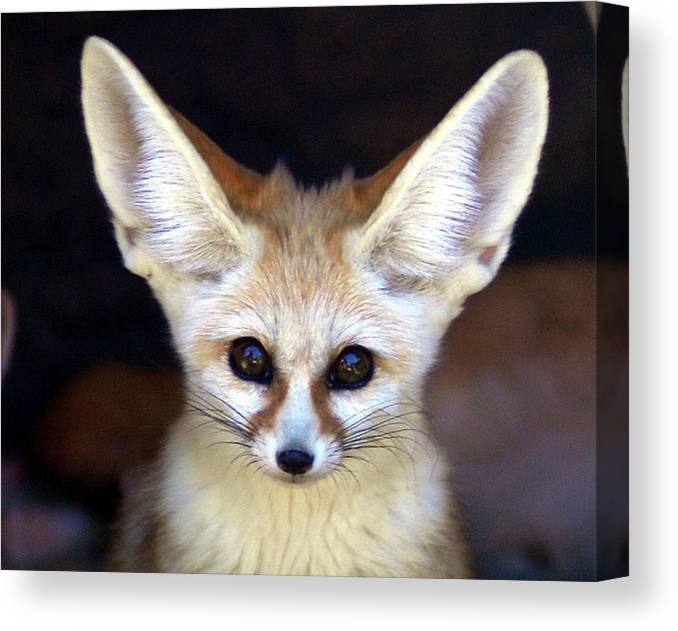 Alertness Canvas Print featuring the photograph Fennec Fox by Floridapfe From S.korea Kim In Cherl