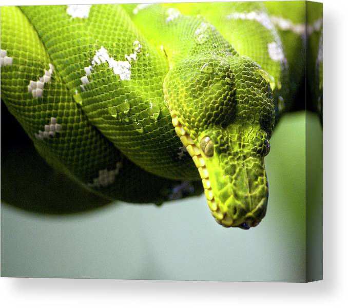 Toronto Canvas Print featuring the photograph Green Snake Curled And Resting by Gail Shotlander