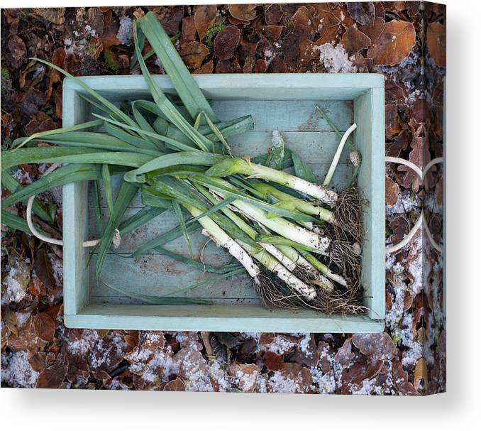 Outdoors Canvas Print featuring the photograph Leeks In Wooden Box On A Frosty Winter by Dougal Waters