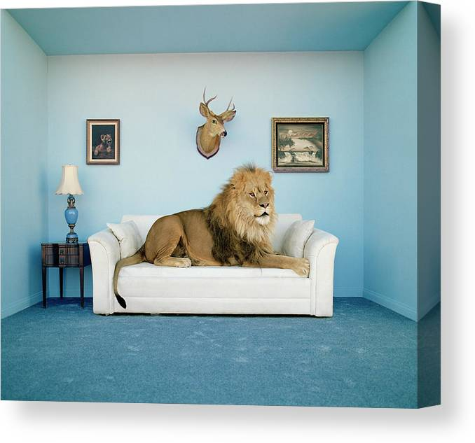 Pets Canvas Print featuring the photograph Lion Lying On Couch, Side View by Matthias Clamer