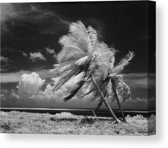 Scenics Canvas Print featuring the photograph Palm Trees Blowing In Wind by H. Armstrong Roberts