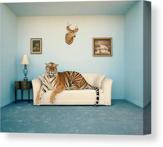 Pets Canvas Print featuring the photograph Tiger On Sofa Under Animal Trophy by Matthias Clamer