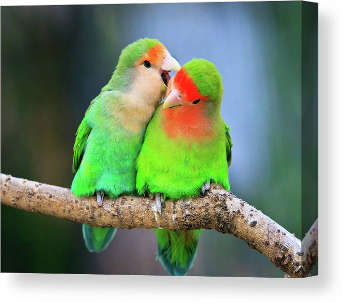Togetherness Canvas Print featuring the photograph Two Peace-faced Lovebird by Feng Wei Photography