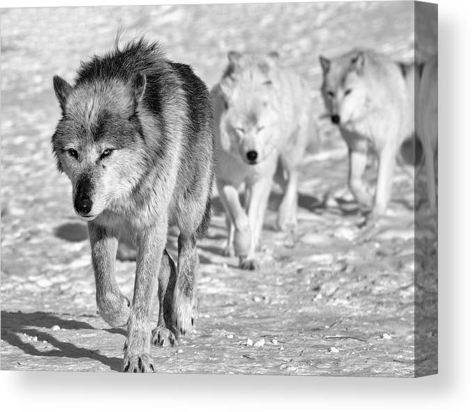 Wolf 4593 Canvas Print featuring the photograph Wolf B&w 4593 by Gordon Semmens