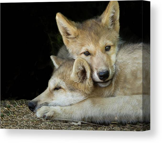 Wolf Pup Brothers Canvas Print featuring the photograph Wolf Pup Brothers by Galloimages Online