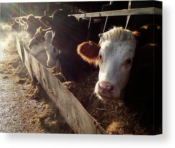 In A Row Canvas Print featuring the photograph Cows Looking Out Of A Barn by James Ephraums