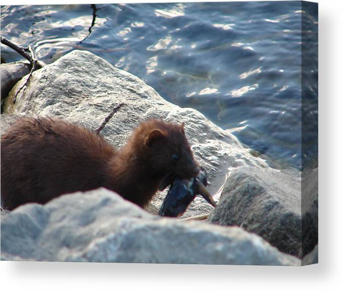 American Mink Canvas Print featuring the photograph Mink with a Round Goby by Randy J Heath