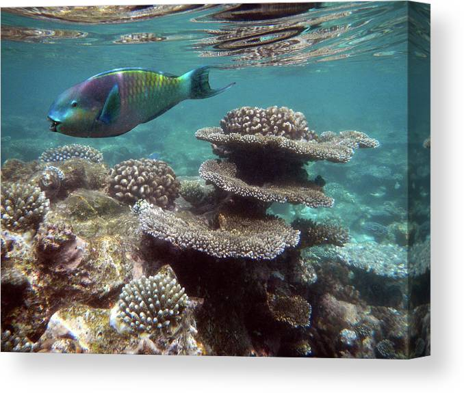 Underwater Canvas Print featuring the photograph Parrotfish On The Barrier Reef At by Federica Grassi