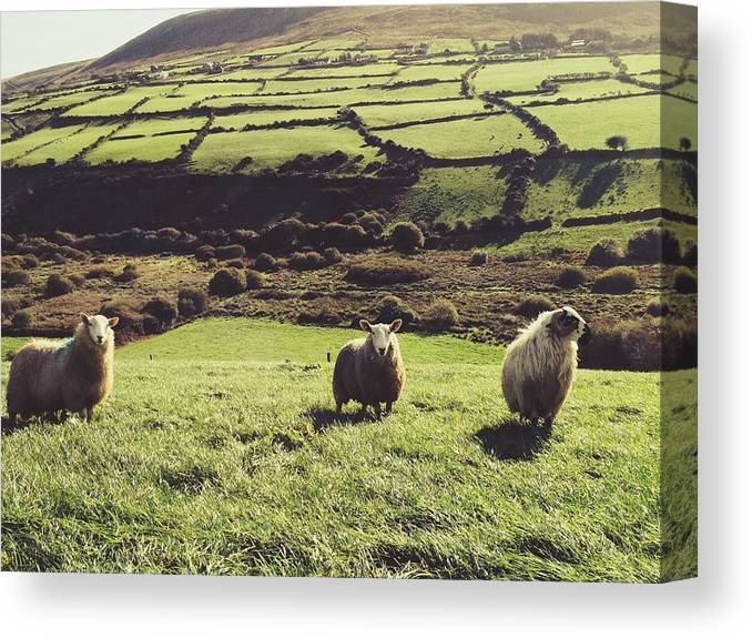 Pets Canvas Print featuring the photograph Sheep Standing In Field by Thomas Peham / Eyeem