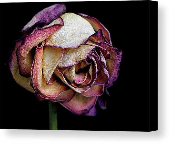 Dried Flower Canvas Print featuring the photograph Slow Fade by Rona Black