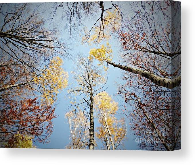 Birches Canvas Print featuring the photograph Upside down autumn by Amalia Suruceanu