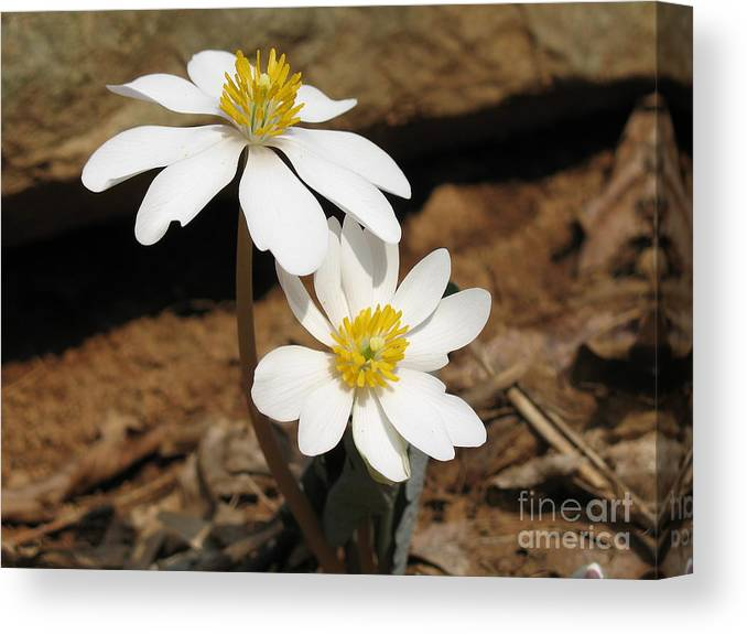 Bloodroot Canvas Print featuring the photograph Bloodroot by Steve Gass