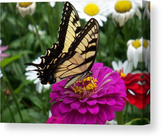 Butterfly Photos Canvas Print featuring the photograph Butterfly on Zennia by Ellen B Pate