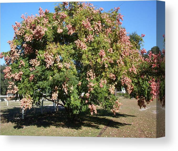 Tree Photo Canvas Print featuring the photograph Green and Pink Tree Golden Rain Tree by Warren Thompson