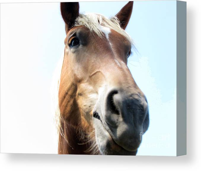 Horse Canvas Print featuring the photograph Really by Amanda Barcon