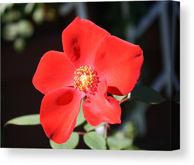 Rose Canvas Print featuring the photograph Red Velvet by Mary Beglau Wykes
