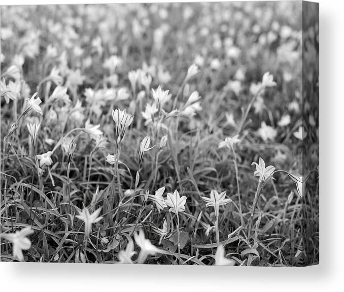 Star Flower Canvas Print featuring the photograph Starflower Spring Field by Rachel Morrison