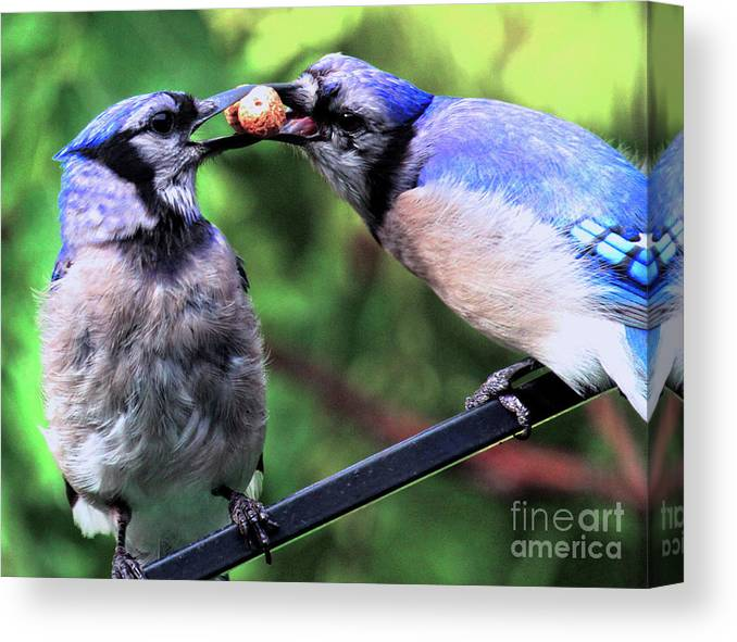Wildlife Canvas Print featuring the photograph Blue Jays Wooing 2 by Patricia Youngquist