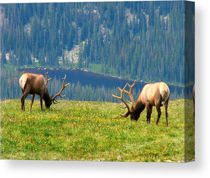 Grass Canvas Print featuring the photograph Bull Elk Grazing In Colorado by Sandra Leidholdt