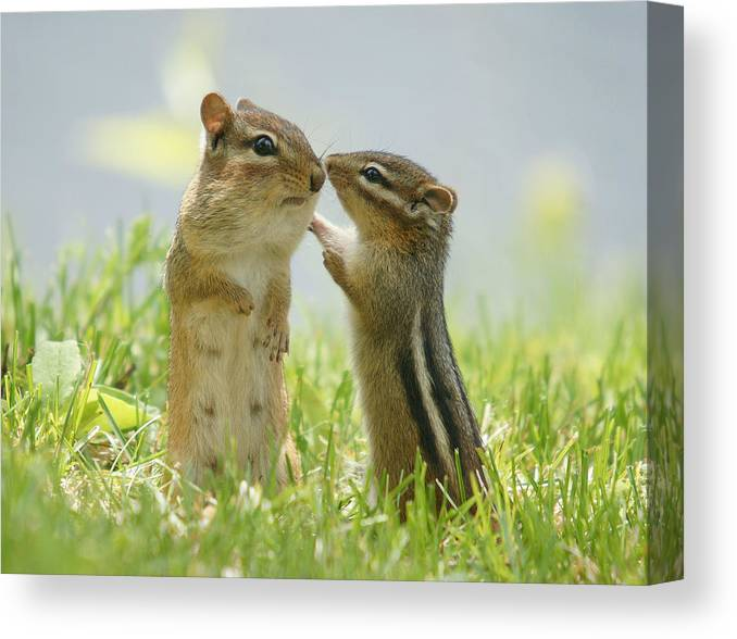 Grass Canvas Print featuring the photograph Chipmunks In Grasses by Corinne Lamontagne
