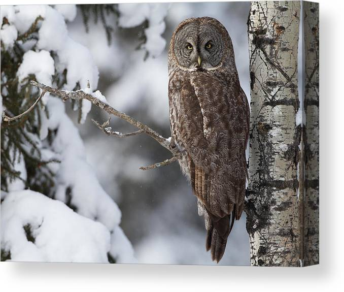 Snow Canvas Print featuring the photograph Great Grey Owl by Corey Hayes