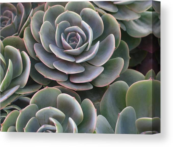 Scenics Canvas Print featuring the photograph Hens And Chicks Plant Full Frame by Sassy1902