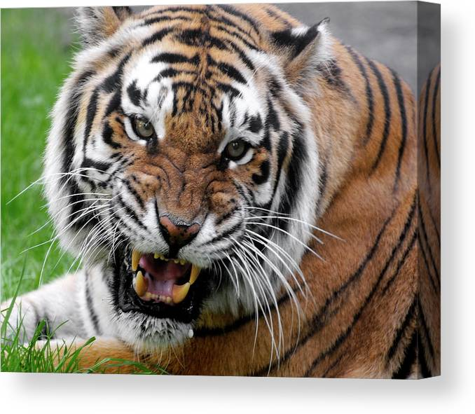 Paw Canvas Print featuring the photograph Portrait Of An Aggressive Bengal Tiger by Empphotography