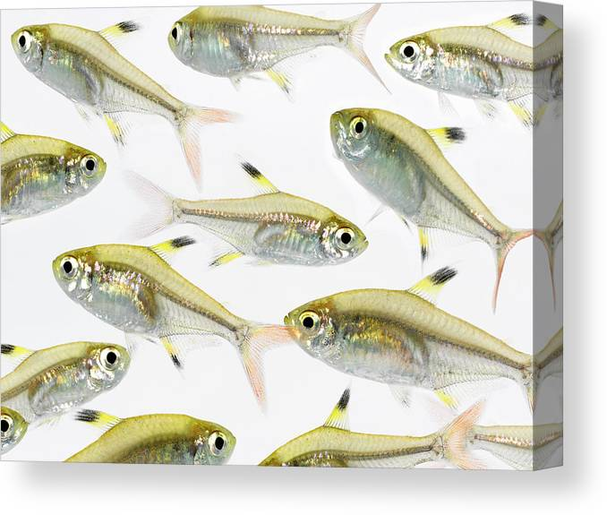 White Background Canvas Print featuring the photograph School Of X-ray Tetra Fish Pristella by Don Farrall