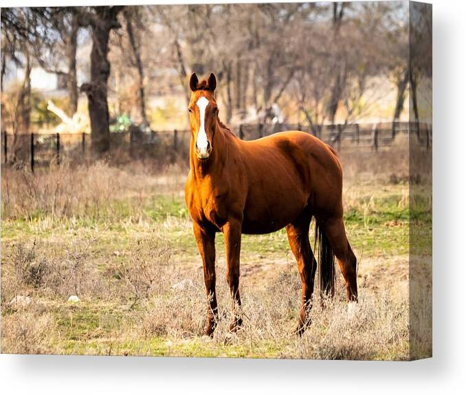 Horse Canvas Print featuring the photograph Bay Horse 1 by C Winslow Shafer