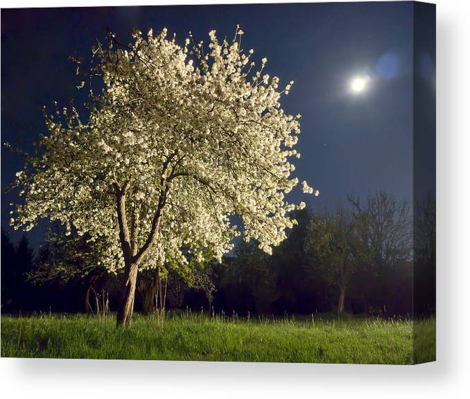 Apple Blossom Canvas Print featuring the photograph Moonlit Blooming Tree by Bernd Schunack