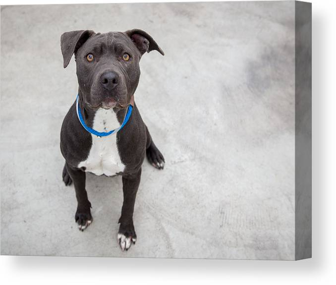 Pets Canvas Print featuring the photograph Pit bull dog sitting by Paul Park