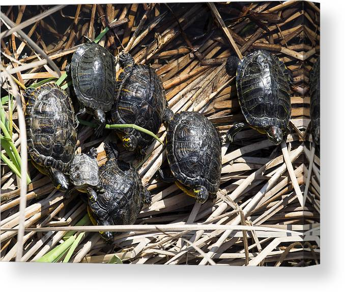 Tranquility Canvas Print featuring the photograph Red-eared sliders / red-eared terrapins (Trachemys scripta elegans / Pseudemys scripta elegans / Emys elegans) group resting on log in lake by Jose A. Bernat Bacete