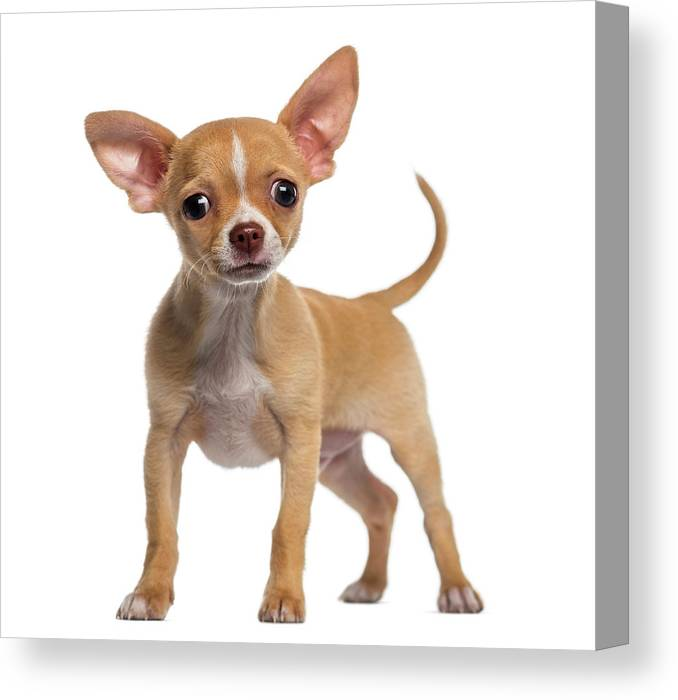 Pets Canvas Print featuring the photograph Alert Chihuahua Puppy 3 Months Old by Life On White