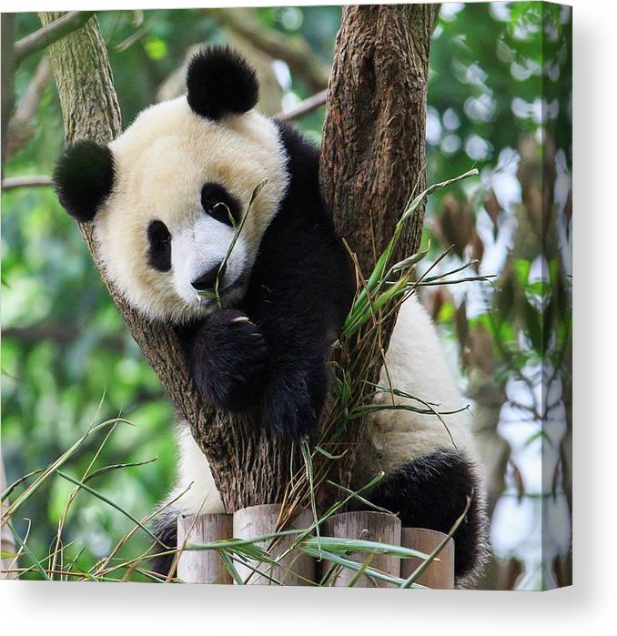 Panda Canvas Print featuring the photograph Panda Cub Resting On Tree by Feng Wei Photography