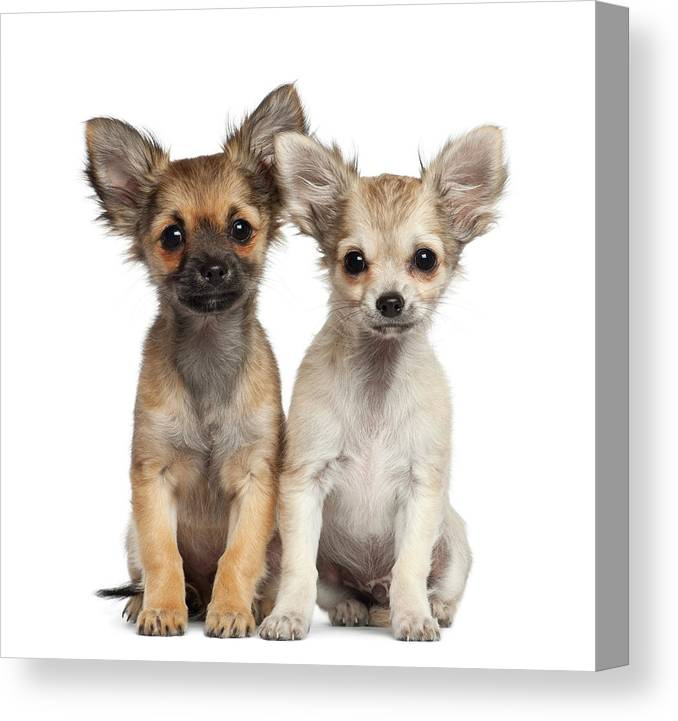 Pets Canvas Print featuring the photograph Two Chihuahua Puppies Sitting 3 Months by Life On White
