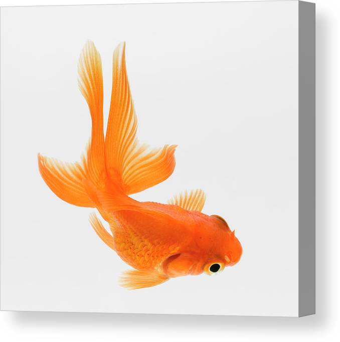 Pets Canvas Print featuring the photograph Fantail Goldfish Carassius Auratus by Don Farrall