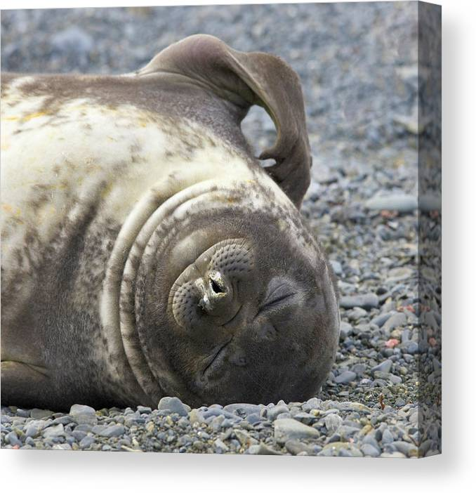 South Georgia Island Canvas Print featuring the photograph Southern Elephant Seal Weaner Pup by Eastcott Momatiuk