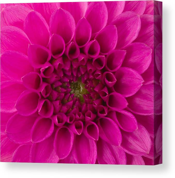 Saturated Color Canvas Print featuring the photograph Dahlia by Vidok
