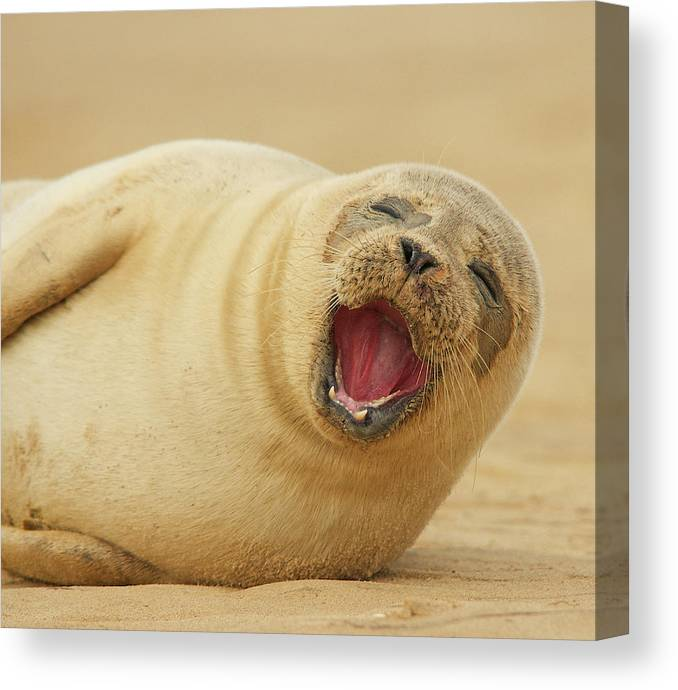 Animal Themes Canvas Print featuring the photograph Common Seal by Copyright Alex Berryman