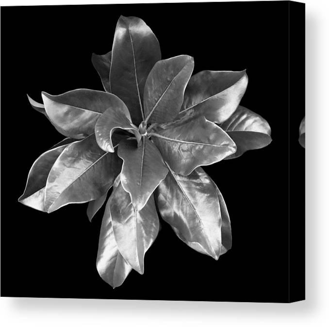 Magnolia Canvas Print featuring the photograph Magnolia Tree Leaves by Marilyn Hunt