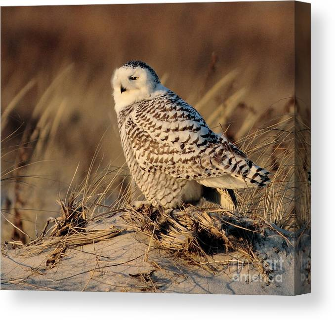 Snowy Owl Canvas Print featuring the photograph Snowy by Linda C Johnson