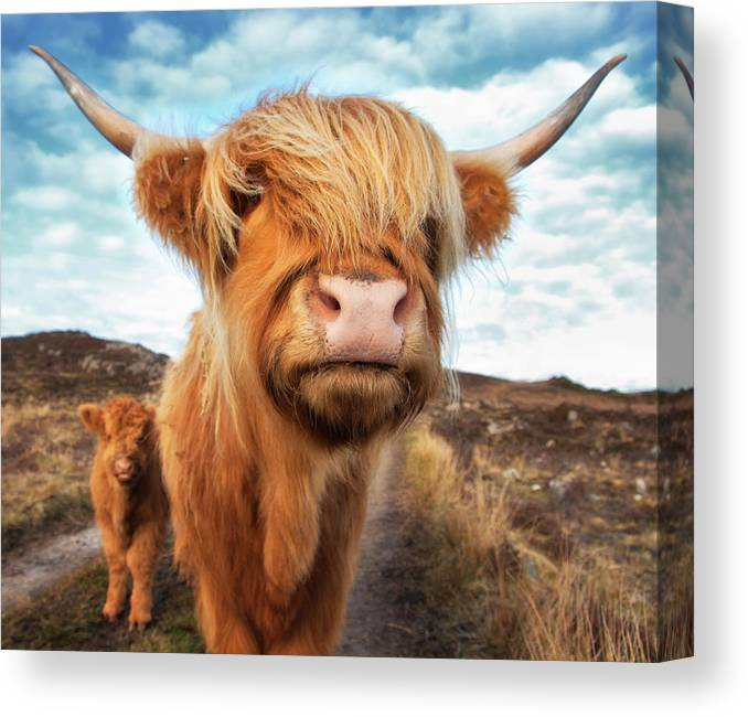 Horned Canvas Print featuring the photograph Uk, Scotland, Highland Cattle With Calf by Westend61