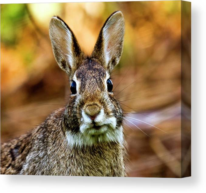 Animal Themes Canvas Print featuring the photograph Rabbit by Hvargasimage