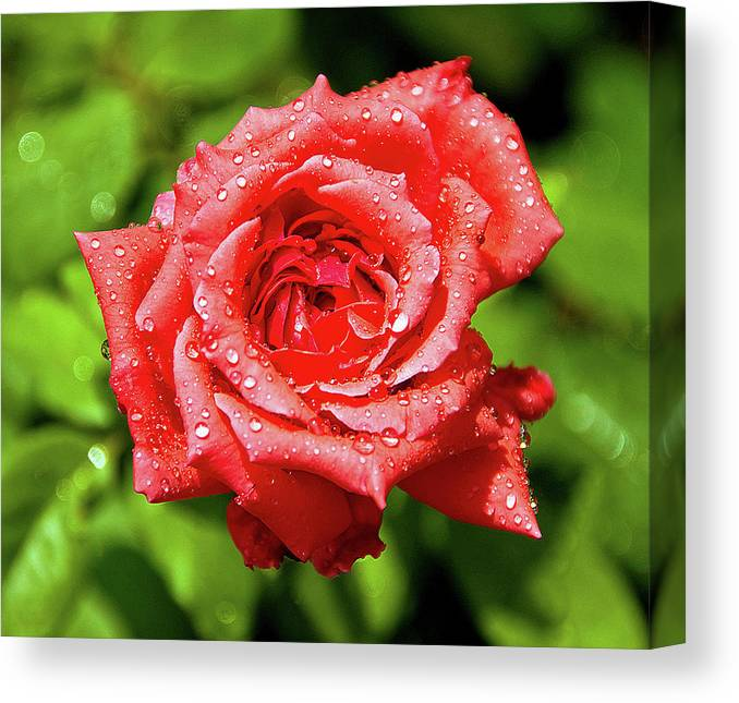 New Delhi Canvas Print featuring the photograph Rose With Raindrops by Charlie Joe