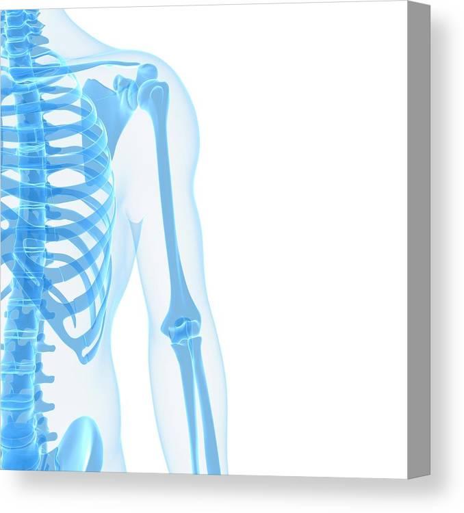 White Background Canvas Print featuring the digital art Upper Body Bones, Artwork by Sciepro