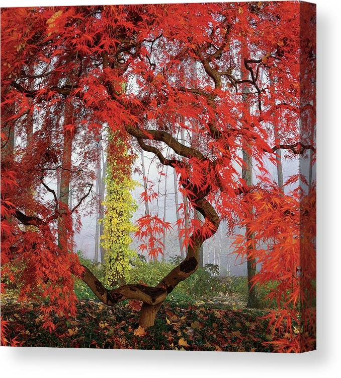 Landscape Canvas Print featuring the photograph A Japanese Maple Tree by Richard Felber