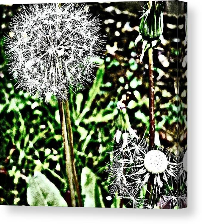 Beautiful Canvas Print featuring the photograph Dandelions by J Roustie
