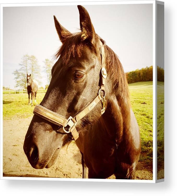 Horse Canvas Print featuring the photograph Horse portrait by Matthias Hauser